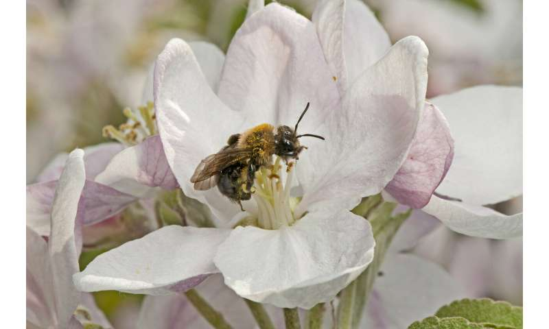 Orchards in natural habitats draw bee diversity, improve apple production