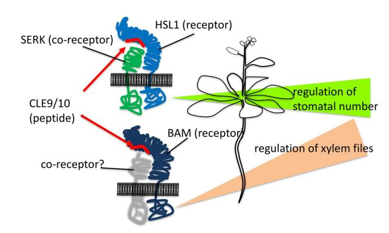 Dual control: plant peptide hormone generates distinct cell structures for water flow