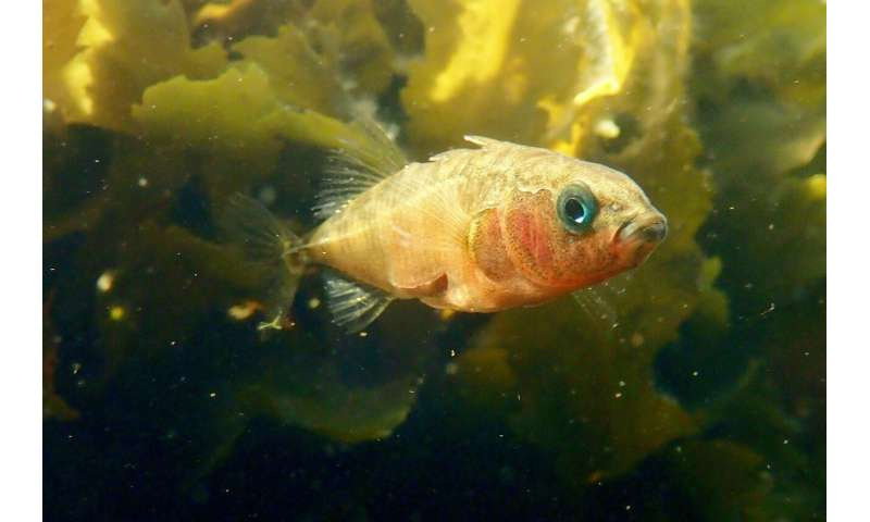 A small fish provides insight into the genetic basis of evolution