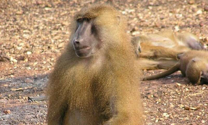Genome sequencing of baboon species provides new understanding of evolutionary diversification