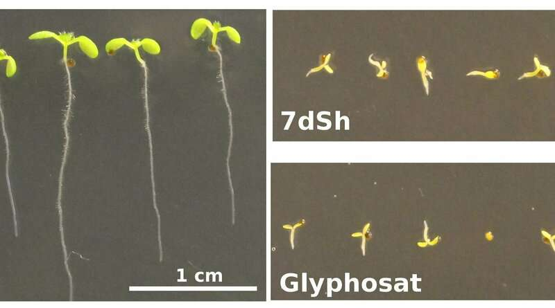 Unusual sugar from cyanobacteria acts as natural herbicide