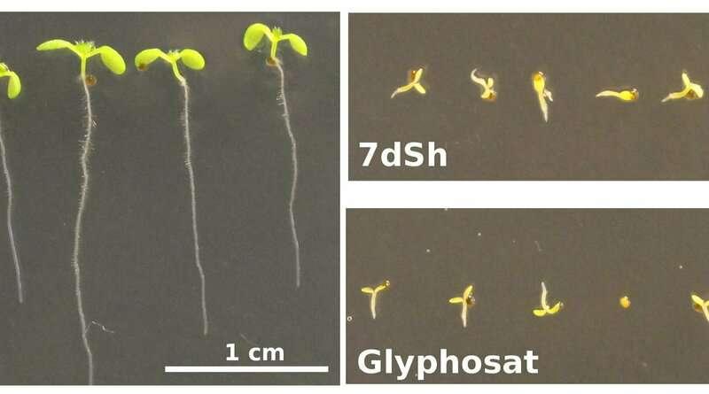 Azúcar inusual de cianobacterias actúa como herbicida natural