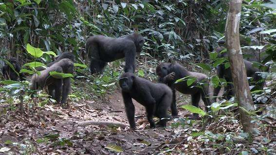 A scientific study reveals the enigmas on social behaviour of western lowland gorillas