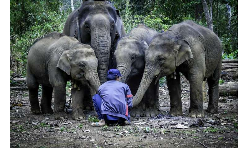 Modern mahouts taking care of elephants in Myanmar are younger and less experienced
