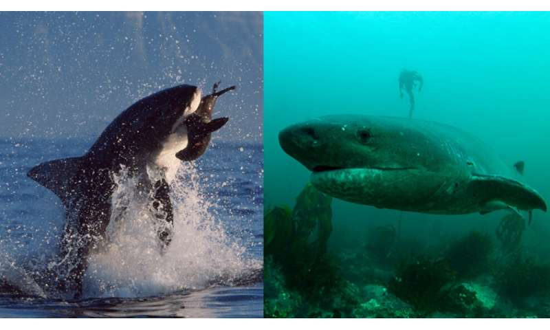 New study finds changes in the ecosystem after the loss of large white sharks