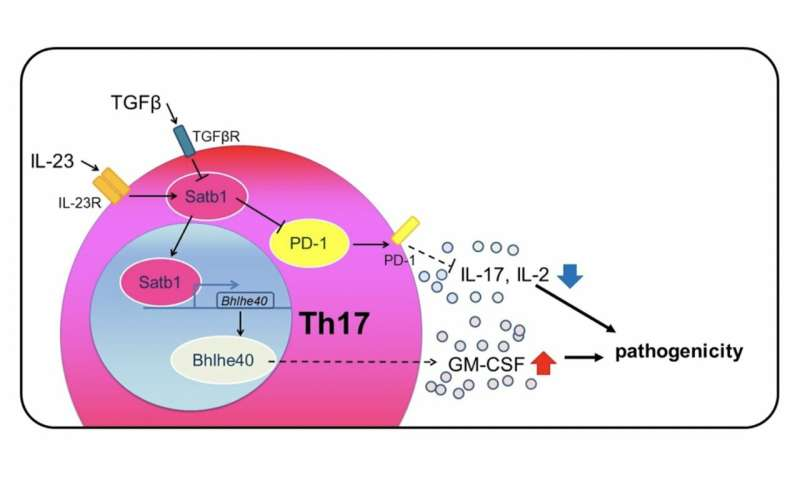 Regulating the MS-causing properties of Th17 cells