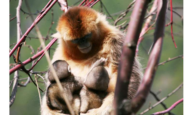 Female golden snub-nosed monkeys share nursing of young
