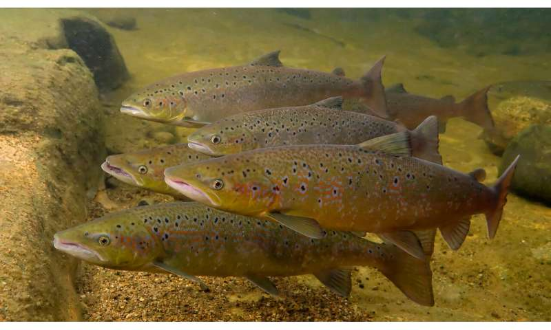 In the game of love, local salmon have a home-ground advantage