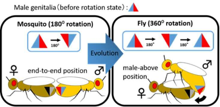 Evolution of the constant genital axis