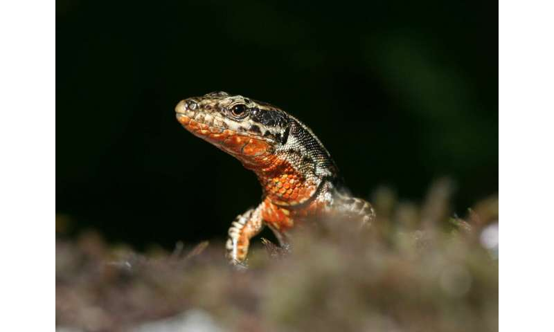 Two genes explain variation in color and behavior in the wall lizard
