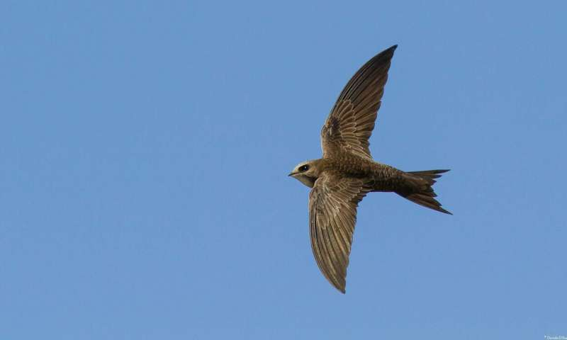 Swifts are born to eat and sleep in the air