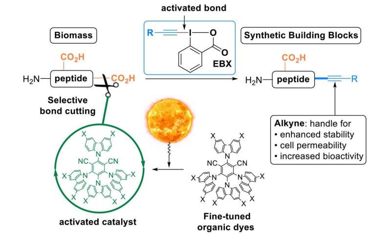 Light and peptides: New method diversifies natural building blocks of life
