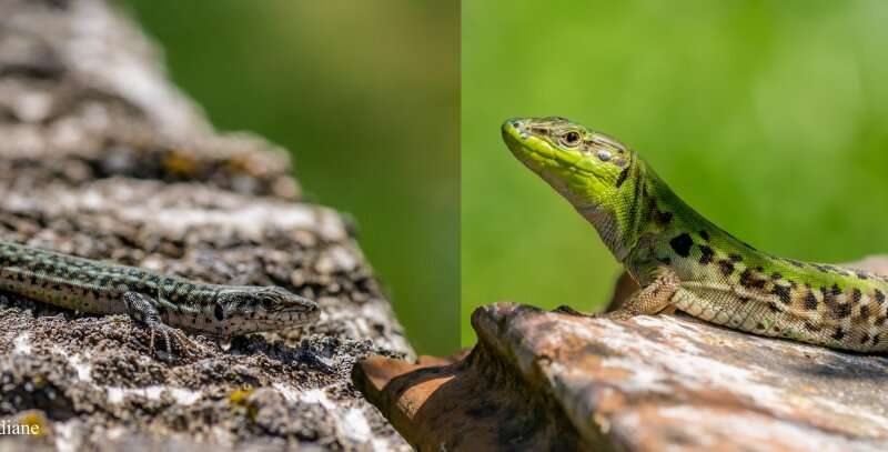 Fortune favours the bold: Can behaviour explain why some animal species become invasive?