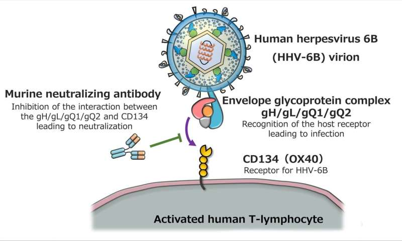 Humanization of antibodies targeting human herpesvirus 6B