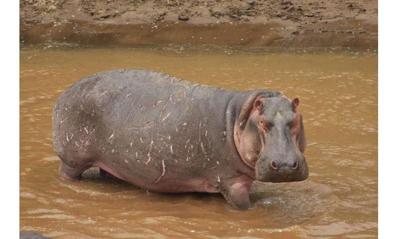 ** Hipopótamos, las bombas de silicona animal.