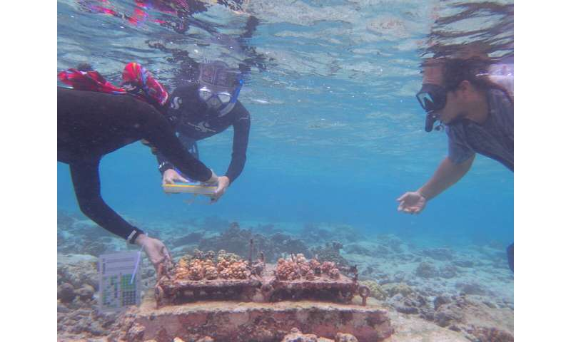 Naturally heat resilient corals transplanted to nurseries survive El Nino bleaching event