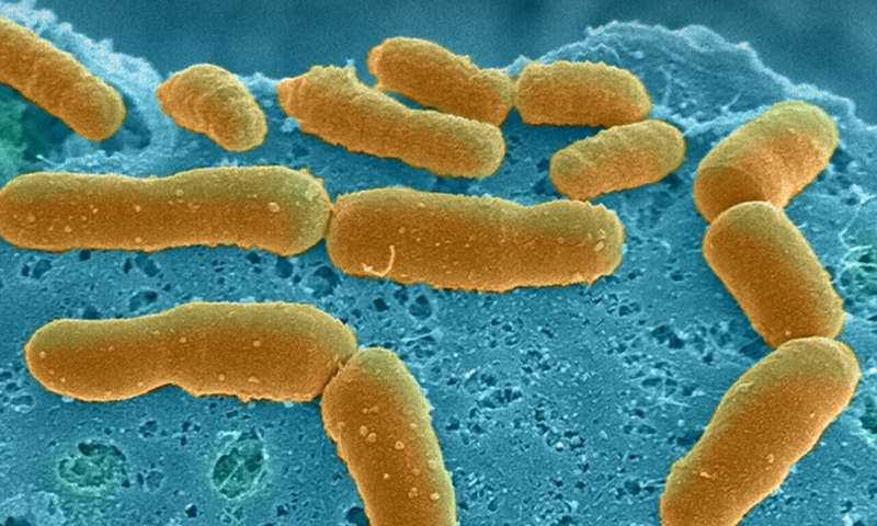 Human gut microbiome physiology can now be studied in vitro using Organ Chip technology