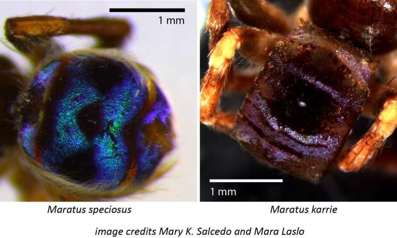 The bumps on the peacock spider make dark spots super dark