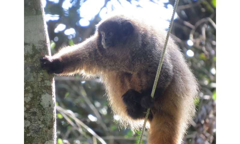 Titi monkeys found to use probabilistic predator calls to alert others in their group