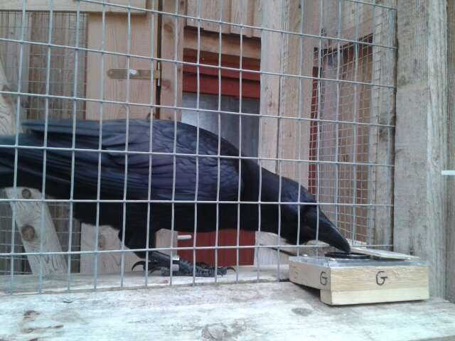 **Researchers find evidence of negative emotional contagion in lab ravens