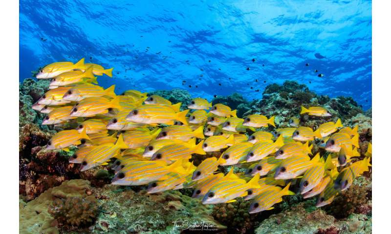 Live fast, die young: Study shows tiny fishes fuel coral reefs