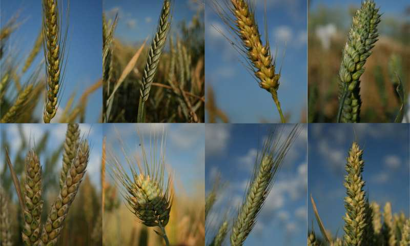 Researchers trace the genetic history and diversity of wheat