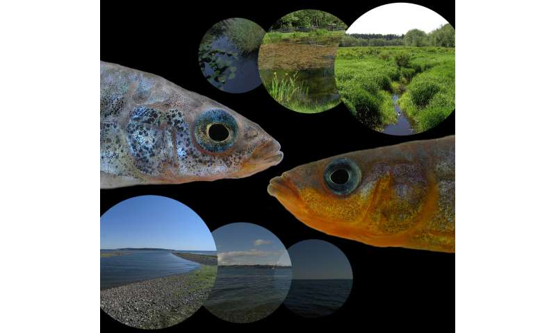 ++**Freshwater find: Genetic advantage allows some marine fish to colonize freshwater habitats
