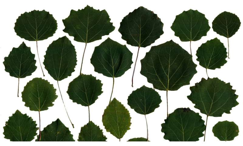Explaining the shape of a leaf with the help of systems biology