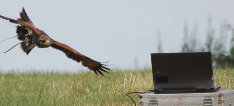 Hawks' pursuit of prey has implications for capturing rogue drones
