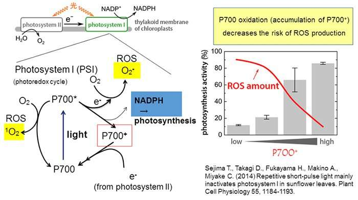 Electrons take alternative route to prevent plant stress