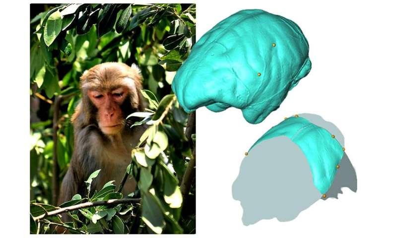 Analysis of the parietal anatomy of Old World monkeys