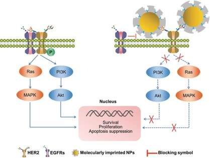Inhibition of HER2 on tumor cells by molecularly imprinted nanoparticles