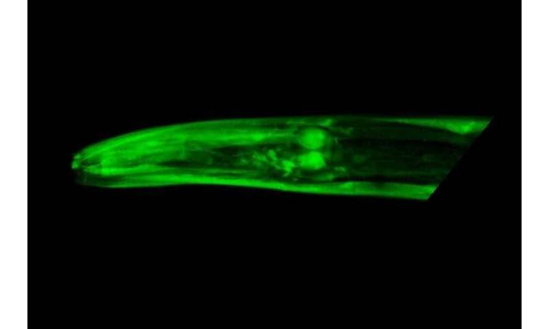 New gene linked to healthy aging in worms