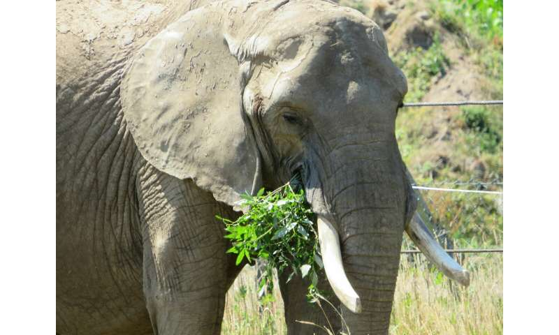 Change of teeth causes yo-yo effect in elephants' weight