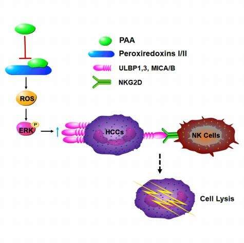 Discovery may lead to natural ent-kaurane diterpenoid for NK-based tumor immunotherapy