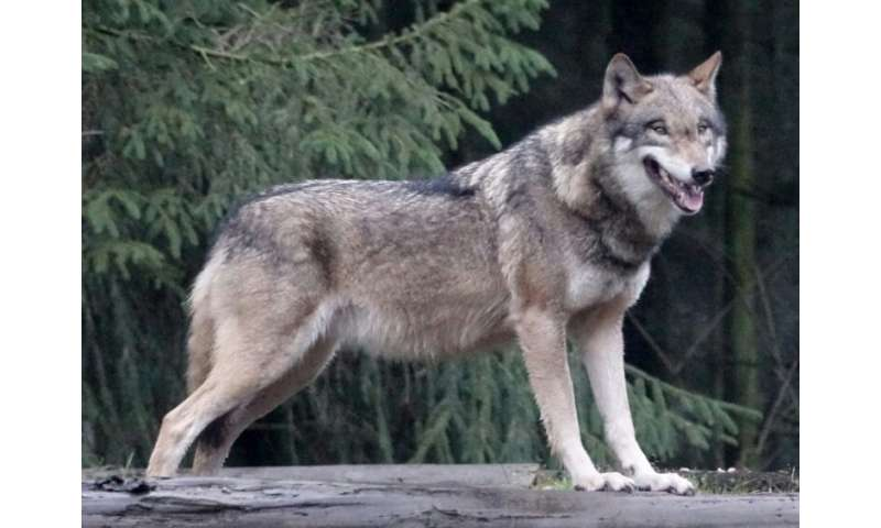 Environmentalists have celebrated the return of the European grey wolf, which however provokes fear and loathing among sheep far