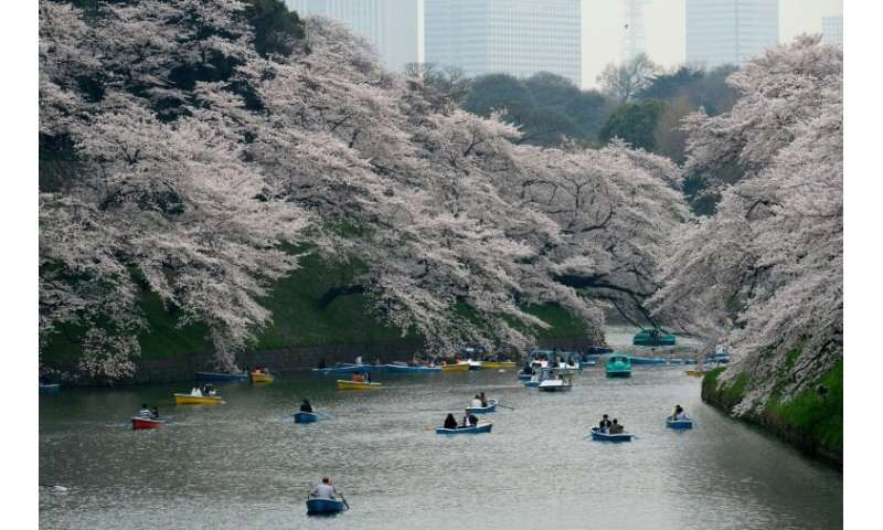 Extreme weather can affect Japan's cherry blossom trees too, with unusual patterns in 2018 prompting some blossoms to appear in