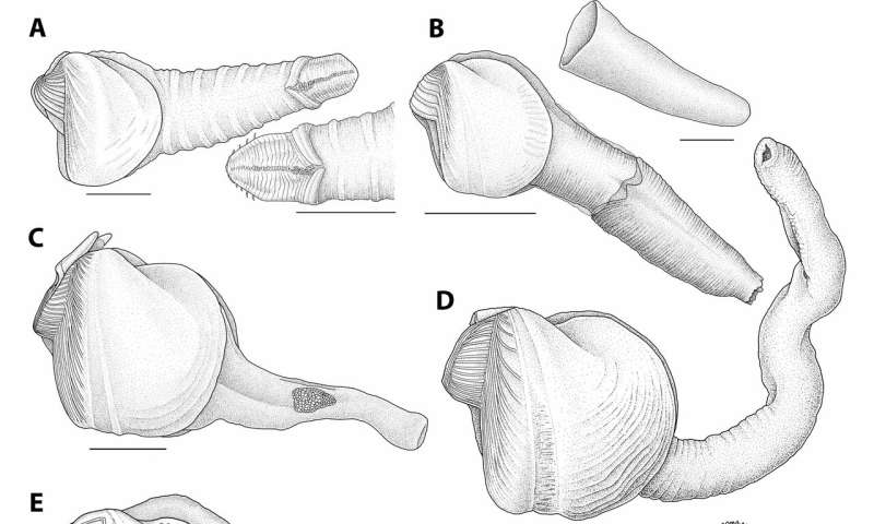 New species of wood-munching (and phallic-looking) clams found at the bottom of the ocean
