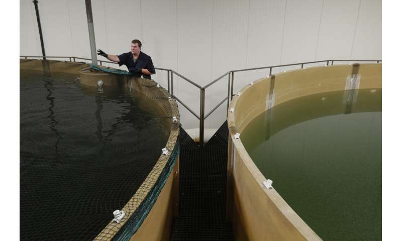 Restaurants could be 1st to get genetically modified salmon