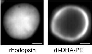 Shedding light on rhodopsin dynamics in the retina