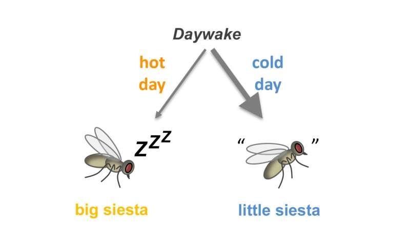 Researchers discover 'daywake,' a siesta-suppressing gene
