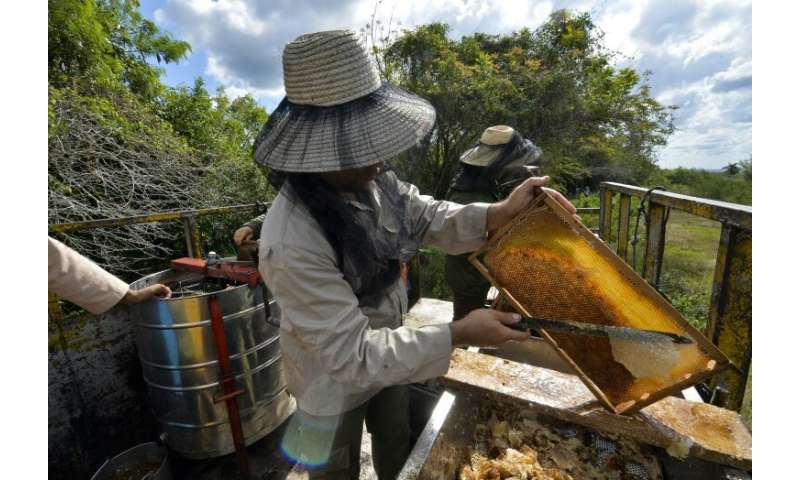 A beekeeper collects honeycombs from a frame at an apiary