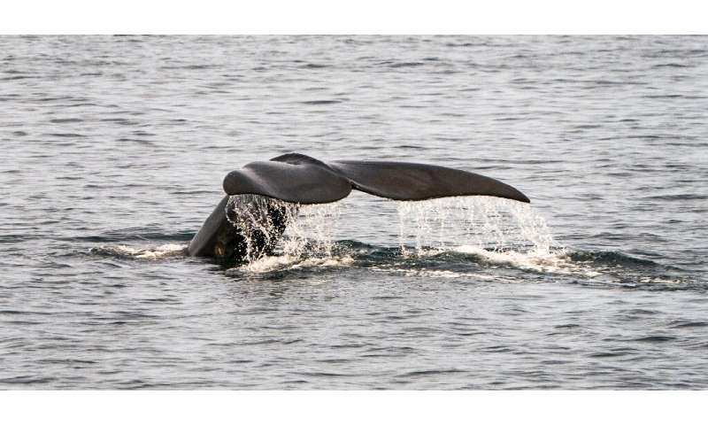 A critically endangered North Atlantic right whale swims off the coast of the northeastern US state of Massachusetts near Cape C