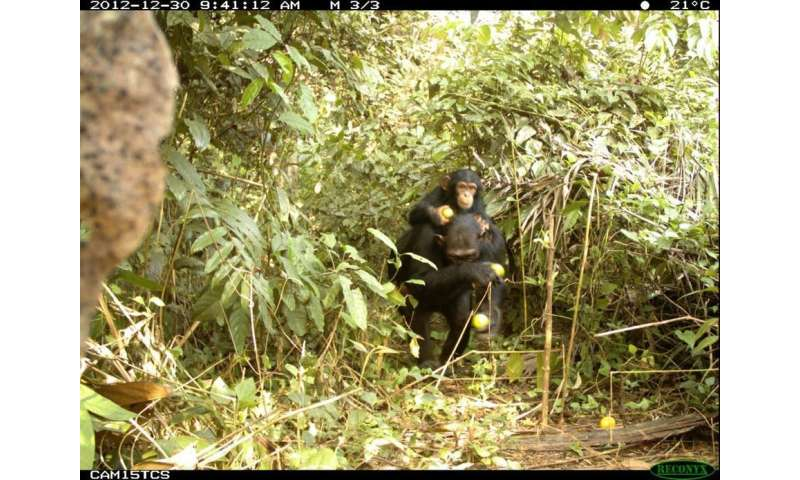 Action is needed to save west Africa's critically endangered chimpanzees