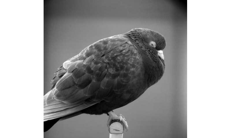 A deeper look inside the sleeping bird brain