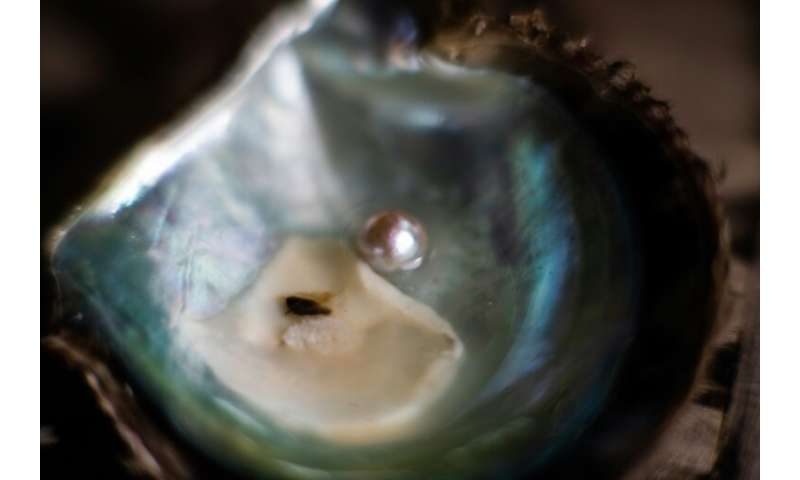 A glistening white pearl from a cultured farming technique invented in Japan that is in decline as experts die out in the ageing
