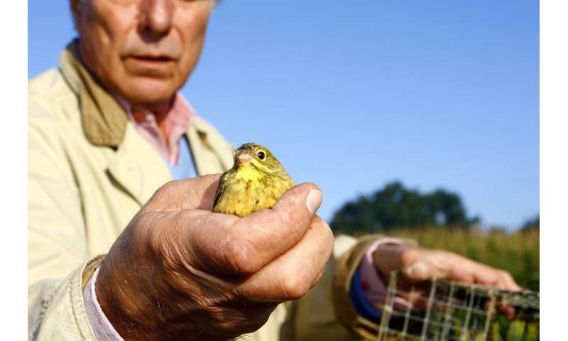 Allain Bougrain-Dubourg, president of France's Birds Protection League, releases an ortolan caught in a cage in August 2009 in T