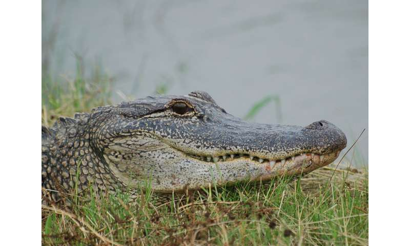 Alligator study reveals insight into dinosaur hearing