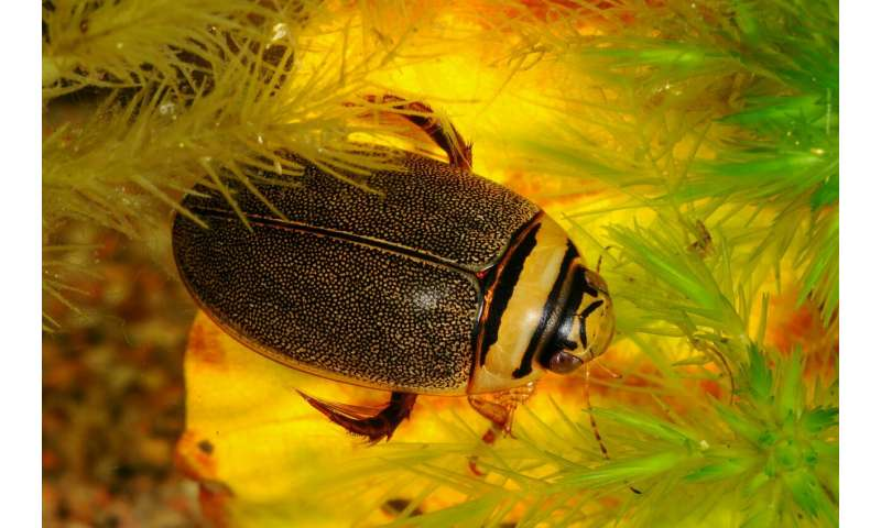 A mating war in diving beetles has stopped the evolution of species