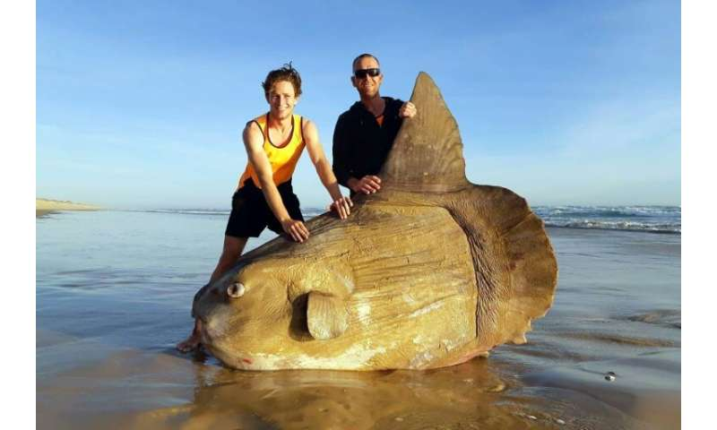 A mola mola—or ocean sunfish—washed up on an Australian beach